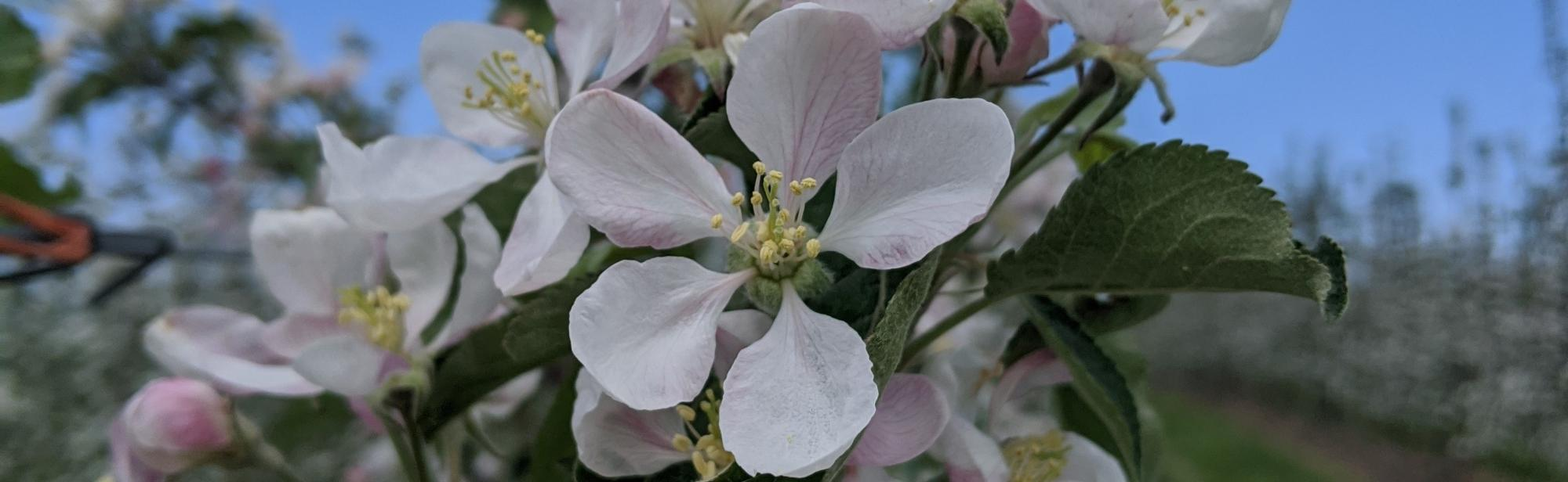 Image of apple blossoms