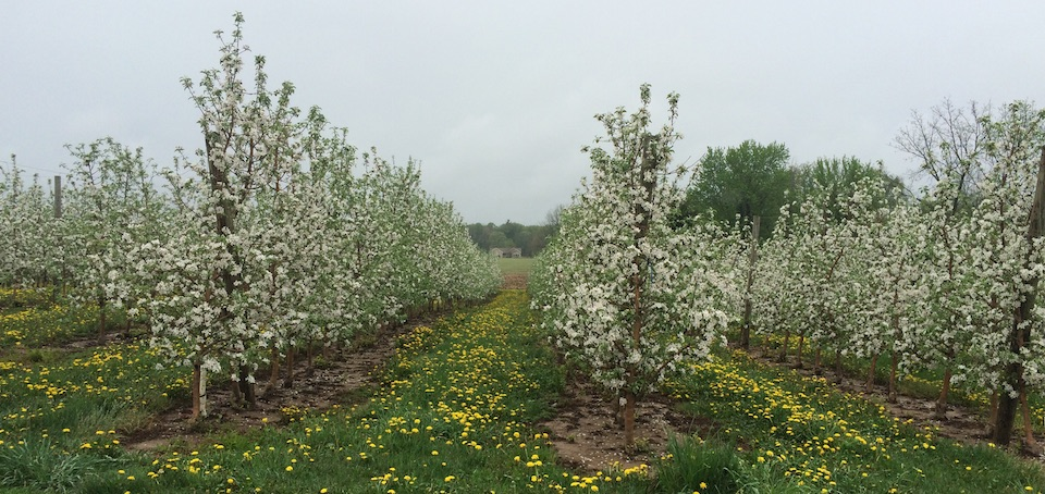 Picture of apple blooms.
