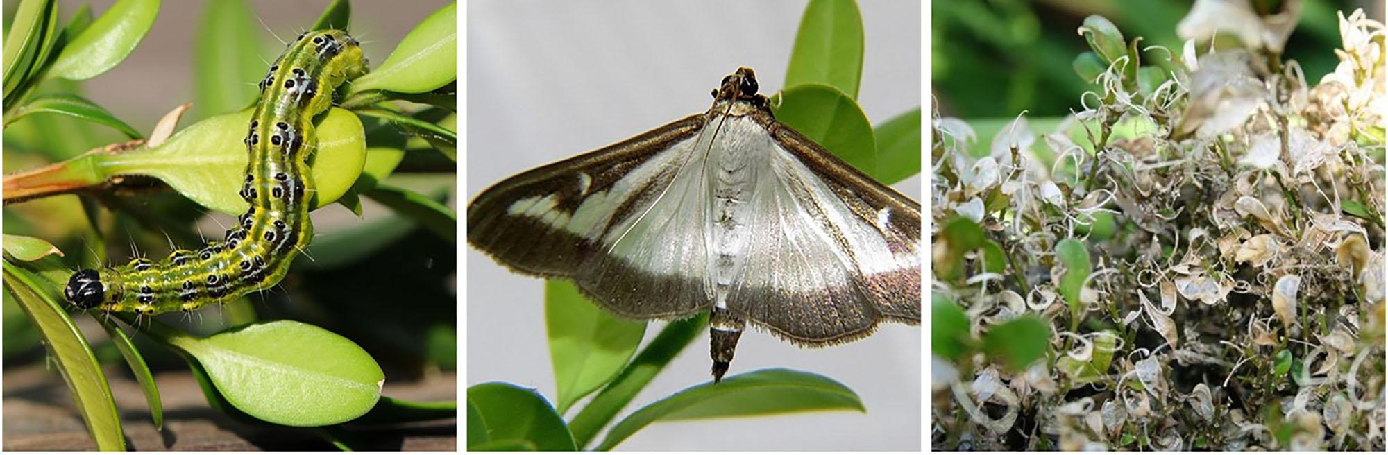 Images of invasive box tree moth.
