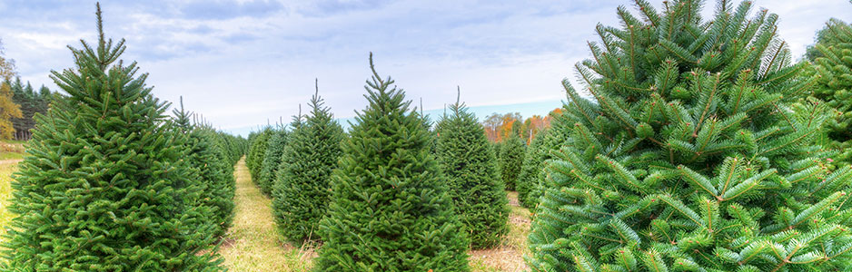 Banner with a picture of a Christmas tree farm.