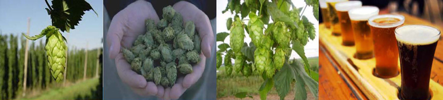 Images of hops.