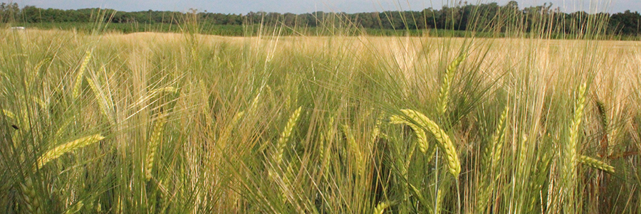 Picture of green barley seed heads in field.