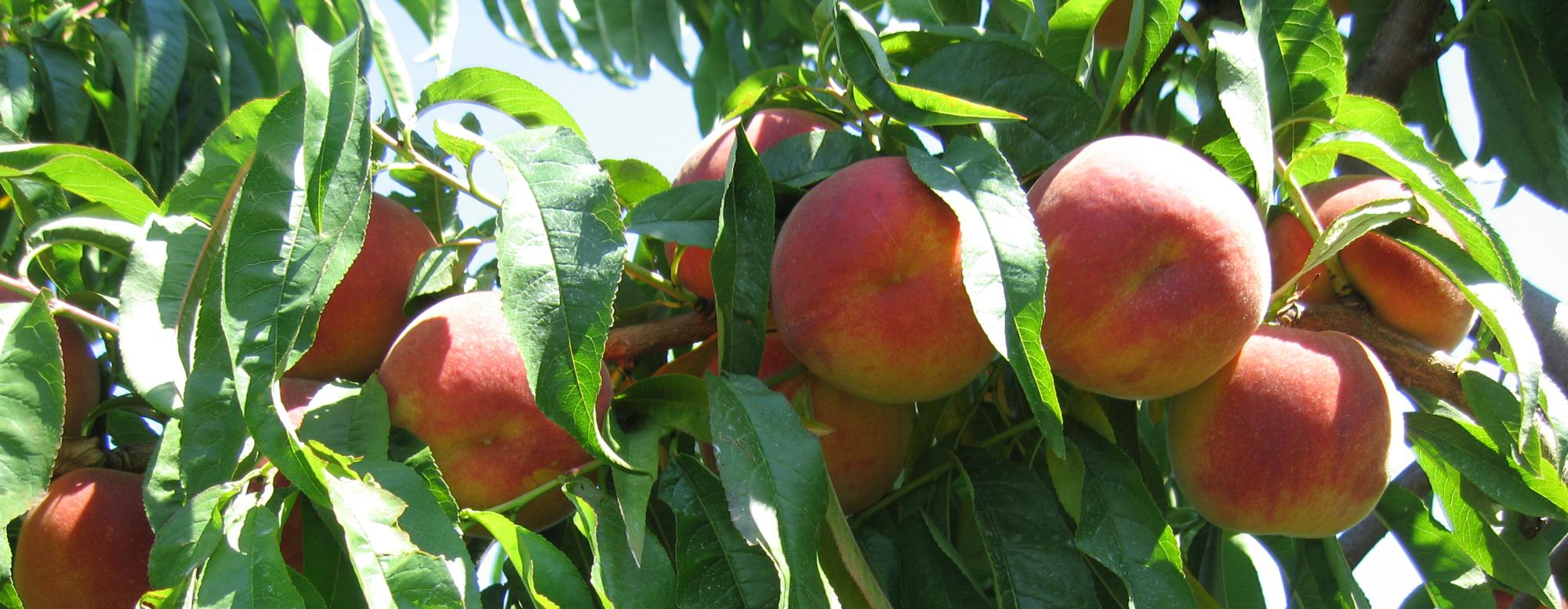 Image of peaches on a tree
